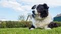 Border collie dog in Devon UK