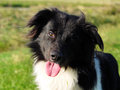Border collie dog looks for a sign to run Royalty Free Stock Images