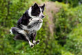 Border collie dog in midair after jumping Royalty Free Stock Images