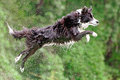 Border collie dog in midair after jumping Royalty Free Stock Photos