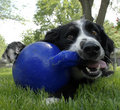 Border Collie Dog playing with blue ball Stock Images