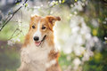 Border collie dog portrait background white flowers spring Royalty Free Stock Photos