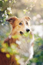 Border collie dog portrait background white flowers spring Royalty Free Stock Image