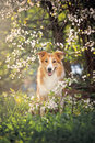Border collie dog portrait background white flowers spring Stock Images