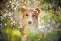 Border collie dog portrait looking camera background white flowers spring Royalty Free Stock Photo