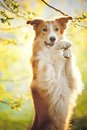 Border collie dog portrait spring sunshine background Stock Photo