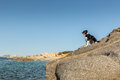 Border Collie Dog on rocky outcrop on coast of Corsica Royalty Free Stock Photo