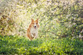 Border collie dog running background white flowers spring Stock Photo