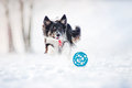 Border collie dog running to catch a toy in winter Royalty Free Stock Photos