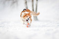Border collie dog running to catch a toy in winter Stock Photo