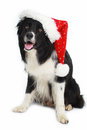 Border Collie dog with santa hat