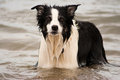 Border collie dog in the sea Royalty Free Stock Photo