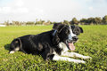 Border collie dog sitting grass park concentrated something off frame Royalty Free Stock Image
