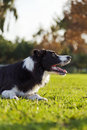 A border collie dog sitting on the grass at the park concentrated on something off frame Royalty Free Stock Photography