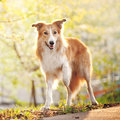 Border collie dog stand up spring sunshine background Royalty Free Stock Photos