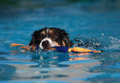 Border Collie Dog swimming with his toy Stock Image