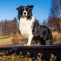 Border collie dog to fetch on meadow Royalty Free Stock Image