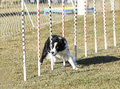 Border collie going through weave poles a practicing for agility Royalty Free Stock Photo