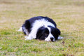 Border collie a grovels on the grass with eyes staring front Stock Photography
