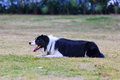Border collie grovels on the grass a staring to its front with mouth open and tongue out Royalty Free Stock Image