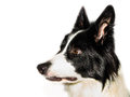 Border collie isolated side view of beautiful puppie Stock Images