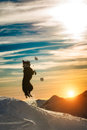 Border collie jumps i in the snow Royalty Free Stock Photo