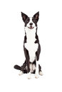 Border Collie Mix Breed Dog Sitting Royalty Free Stock Photo