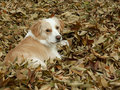 Border collie mix in leaves Stock Photos
