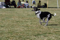 Border collie mix running to catch frisbee park Royalty Free Stock Photo