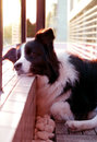 Border Collie pet dog at sunset Royalty Free Stock Photo