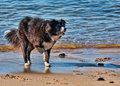 Border collie playing Royalty Free Stock Photo