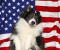 Border collie playing on American flag
