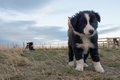 Border collie puppy dog portrait looking at you Royalty Free Stock Photo