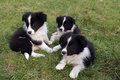 Border collie puppy three sitting in the grass Royalty Free Stock Photography