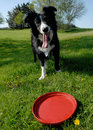 Border Collie and Red Frisbee Stock Photo