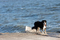 A border collie by the sea Stock Image