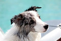 Border collie on the seaside Royalty Free Stock Photo