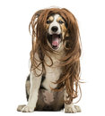 Border collie sitting with a red hair wig isolated on white Royalty Free Stock Photography