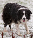 Border Collie in Snow Royalty Free Stock Photo