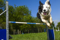Border Collie in the Sport of Agility Royalty Free Stock Photo