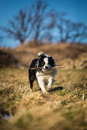 Border collie to fetch Stock Photo