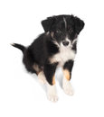 Border Collie trocolor puppy isolated on the white Royalty Free Stock Photo