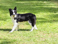 Border collie a young healthy beautiful black and white dog standing on the grass looking very happy holding a ball in its mouth Stock Images