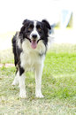 Border collie a young healthy beautiful black and white dog standing on the grass looking very happy the scottish sheep dog is Stock Photo
