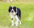 Border collie a young healthy beautiful black and white dog standing on the grass looking very happy the scottish sheep dog is Stock Photos