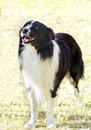 Border collie a young healthy beautiful black and white dog standing on the grass looking very happy the scottish sheep dog is Royalty Free Stock Photo
