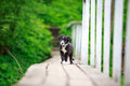Border collies black puppy on bridge Royalty Free Stock Photos