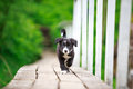 Border collies black puppy on bridge Stock Photos