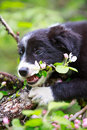 Border collies black puppy dog Royalty Free Stock Images