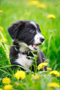 Border collies black puppy dog Stock Images